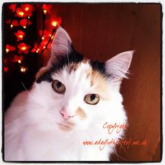 Baby (www.adayinthelifeof.me.uk) Tags: pet cute cat eyes feline felix fluffy whiskers