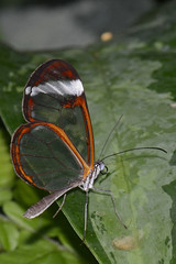 Greta oto (Rene Mensen) Tags: holland colors butterfly zoo wings nikon rene thenetherlands lepidoptera transparent mariposa glas schmetterlinge emmen vlinder mensen dierentuin noorder dierenpark vlindertuin doorzichtig 鱗翅目 나비목 チョウ目 glasswingedbutterfly glasswinged glasvleugel d5100