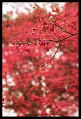 Beautiful flower (d-k-t) Tags: trip travel canon hongkong eos m42 cerasus 450d img7094 kadooriefarmandbotanicg