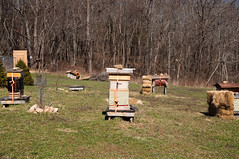 _DSC0013 (visionsrecalled) Tags: chickens sunshine virginia flying day bees honey blueskies honeybees buzzing swarms