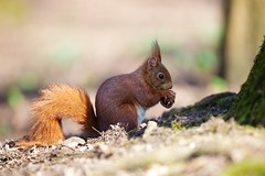 Red squirrel (Sciurus vulgaris) (generalstussner) Tags: shadow sun nature canon squirrel dof bokeh eating wildlife 1d nut f28 redsquirrel 70200mm 200mm sciurusvulgaris 1dmarkiv ef70200mmf28lisiiusm