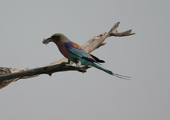 Lilac-breasted Roller with fish (Paul Cottis) Tags: roller botswana moremi paulcottis