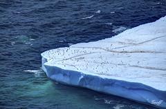 On Ice (gwhiteway) Tags: travel seagulls canada tourism ice nature robin birds newfoundland bay coast gulls east trail hood iceberg nl