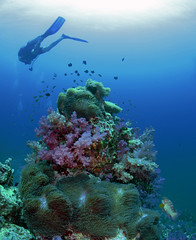 bommie9320 (gerb) Tags: blue fish topv111 coral 510fav topv333 underwater purple scuba anemone diver domino anemonefish similan tvp softcoral similanislands aquatica d7000 sunkentreasureaward sigma1017fe