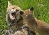 "FOX 160 ..  ""Mom, cant we just forget the singing lessons?"" .. (Explored) (Mike Hazzledine -- British Biodiversity) Tags: upload explore fox kits cubs foxcubs vulpes thegalaxy foxkits allofnatureswildlifelevel2 allofnatureswildlifelevel3 allofnatureswildlifelevel4 allofnatureswildlifelevel5 allofnatureswildlifelevel6"
