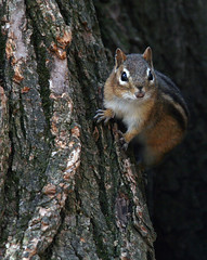 Chip off the ol' block (Electric Eyes Are Everywhere) Tags: tree chipmunk bark angry alvin nibbles