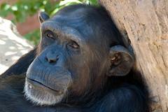 Chimpanzee, Bioparc, Fuengirola, Andalusia, Spain (rmk2112rmk) Tags: chimpanzee bioparc fuengirola andalusia spain chimp pantroglodytes primate greatape ape bokeh
