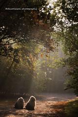 morning light (dewollewei) Tags: light morning raysoflight sunrise sunbeams trees oldenglishsheepdog oldenglishsheepdogs oes bobtail dewollewei sophieandsarah dogs