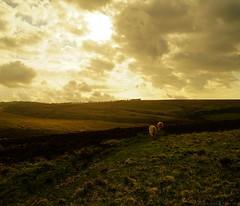 Wildcow Sundown, Exmoor, UK (EmPhoto.) Tags: sonya7r sonyzeiss2470mm exmoor uk landscapepassion emmiejgee dunkeryhill sunset goldenhour goldenlight wild unspoilt highlandcattle