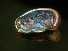 Abalone Meerohr Seeohr - Schale mit Perlmutt (zikade) Tags: abalone meerohr seeohr schnecke meeresschnecke schale perlmutt irisierend glanz irisierenderglanz