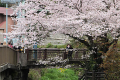 Kamakura   Sakura (Toni Kaarttinen) Tags: japan  japonia    jap japonsko jaapan  japani japon xapn    japn jepang an tseapin giappone  japna japonija  japo  japonska japn hapon  japonya nht bn japanese kamakura formercapital hanami sakura cherryblossom cherryblossoms cherries temple shrine zen garden