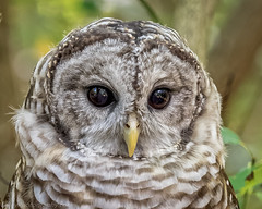EM1B1390-Edit (Bob Gilley) Tags: barred owl