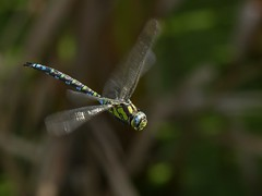 Southern Hawker (Mature Male) (ukstormchaser (A.k.a The Bug Whisperer)) Tags: southern hawker hawkers uk dragonfly dragonflies fly flies animal animals wildlife insect insects september milton keynes odonata autumn afternoon hovering flight flying motion