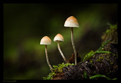 Family of Three (AlpineEdge) Tags: macro green mushrooms outdoors three moss log organics natural bokeh depthoffield creation micro week10 daytime organic forestfloor minature oldgrowth nurselog familyof3 ournaturalworld underthecanopy behindthelensglobalcreativephotographyproject