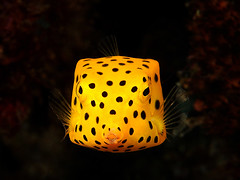 Yellow Box Fish (kendiving) Tags: ocean sea macro uw water canon thailand marine underwater dive scuba diving sealife diver 60mm phiphiisland marinelife boxfish similans 500d underwaterphoto uwp divinginphuket similanisland uwphoto northandaman southandaman nov2010 kendiving kenthongpila