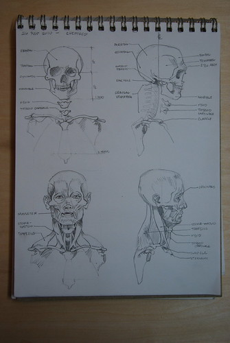 skull and facial muscles