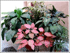 Beautiful rose-pink Aglaonema 'Valentine' as a potted accent amidst the greens, at our courtyard