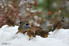Winter in Idaho (Deby Dixon) Tags: winter snow cute nature birds photography interesting nikon berries idaho explore frontpage deby avian coeurdalene allrightsreserved quail 2010 covey californiaquail naturephotographer debydixon debydixonphotography