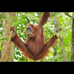Person of the Forest - Sumatran Orangutan (mikel.hendriks) Tags: sumatra indonesia rainforest wildlife orangutan primate animalplanet sanctuary indonesië primates orangoutang rehabilitationcenter orangutans orangoetang tropicalrainforest closeencounter bukitlawang regenwoud criticallyendangered oranghutan orangoetan primaat bohorok gunungleusernationalpark primaten sumatranorangutan gunungleuser mensaap northsumatra canoneos50d orangoetans manoftheforest bedreigdediersoort orangoutangs personoftheforest orangutanrehabilitationcenter tropischregenwoud sumatraanseorangoetan bosmens sigma50150mmf28apoexdciihsm orangoetangs mensvanhetbos noordsumatra gunungleusernationaalpark rehabilitatiecentrum metuitstervenbedreigd