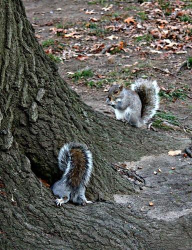 Nov29park-RedTailandSquirrels 016