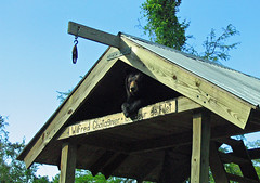 Zoo Bear (Tviv) Tags: bear animals zoo louisiana neworleans blackbear audubon audubonzoo