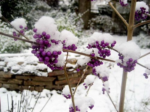 beautyberry in the snow
