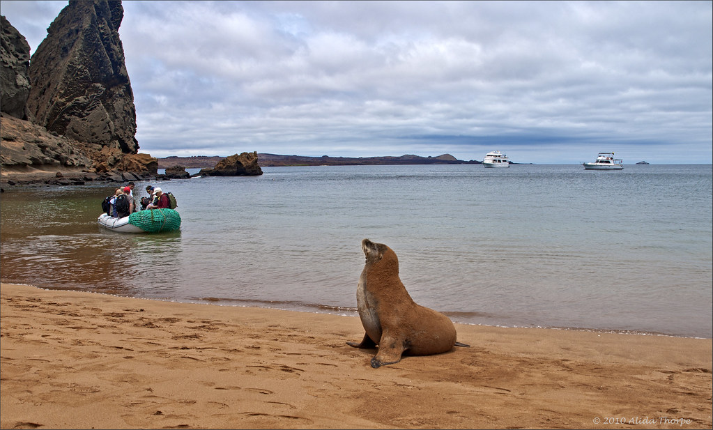 Sea Lion on Bartolome Island, Galapagos