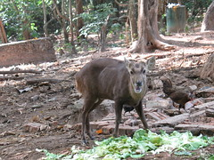 Male Asian deer, recently shed antlers (rodeochiangmai) Tags: chickens nature animals thailand wildlife deer asiandeer