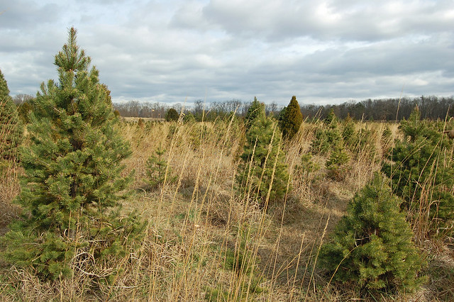 Ticonderoga Christmas Tree Farm