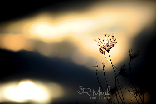 Sunset on Queen Ann's Lace
