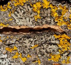Phaeophyscia orbicularis (dry photo at home) 2 of 2 (dougwaylett) Tags: canada alberta lichens foliose phaeophysciaorbicularis phaeophyscia michellesyard mealyshadowlichen hilliardsbayprovincialpark