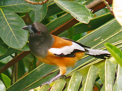 Indian Rufous Treepie (SivamDesign) Tags: bird fauna lumix backyard indian panasonic rufous dendrocittavagabunda treepie fz8 dmcfz8 indianrufoustreepie