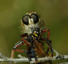 Robber Fly (Asilidae family) (John Wolf Photography) Tags: macro nature insect fly pentax wildlife australia robber taxonomy:family=asilidae k200d asilide