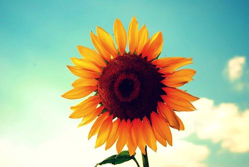 [フリー画像] 花・植物, キク科, 向日葵・ヒマワリ, 黄色の花, 201012110700