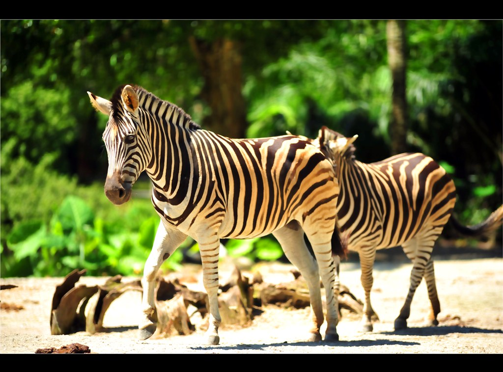 Zoo Taiping - Zebra's rule.
