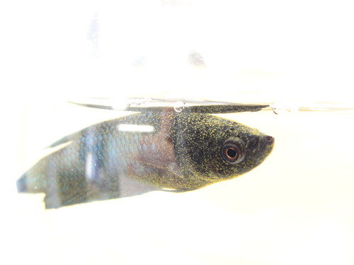 Velvet Disease in Betta Fish