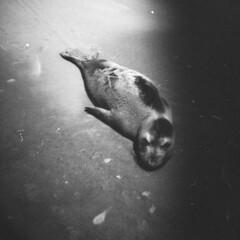 [フリー画像] 動物, 哺乳類, アシカ科, アシカ, モノクロ写真, 201012181100
