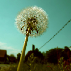 no fence can stop my seeds (fotobananas) Tags: flower macro fence dandelion seeds explore fujifilm friday fenced pusteblume hff fench explored f31fd fotobananas