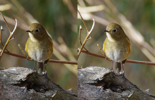 Tarsiger cyanurus, stereo parallel view