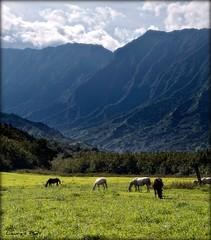 Horses of Kauai (laura's POV) Tags: horse mountains field clouds hawaii pasture kauai hanalei grazing lauraspointofview lauraspov