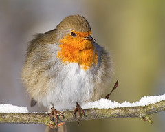 The Fluffmeister :0)  (-8 degrees wouldn't you be fluffed up ) (Andrew Haynes Wildlife Images ( away for a while )) Tags: bird nature robin wildlife coventry warwickshire brandonmarsh canon7d ajh2008