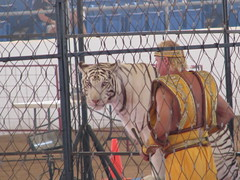 White Tiger and a bad outfit (TheAzBoyds) Tags: phoenix yellow cat circus tiger scottsdale whitetiger westworld badoutfit