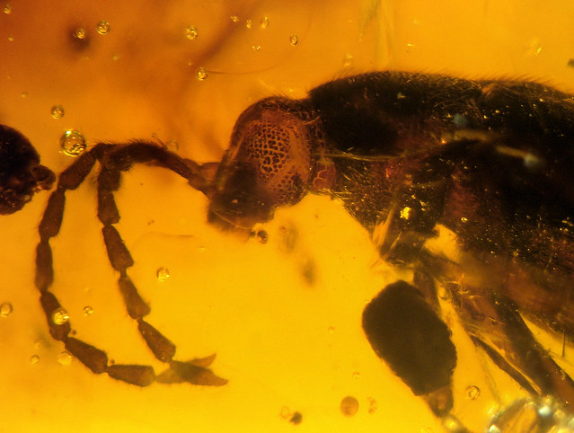 Cretaceous New Jersey amber (90-94 MYO) whit huge beetle - Coleoptera, ...?