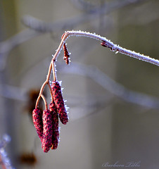 Christmas Day Frost (Explored) (misst.shs) Tags: red plant macro nature nikon frost bokeh joy gray explore seedpod christmasday hss d90 explored macromonday grousecreek