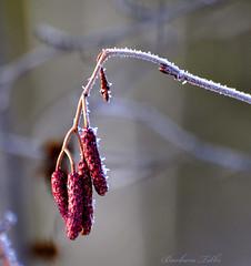 Christmas Day Frost (Explored) (misst.shs) Tags: red plant macro nature nikon frost bokeh joy gray explore seedpod christmasday hss d90 explored macromonday grousecreek