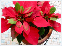 Our potted Euphorbia pulcherrima (Poinsettia, Christmas Flower/Star) in November 2006