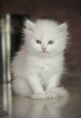 Little Lossy <3 (Mohammed Al-Adsani ) Tags: cat mohammed      aladsani