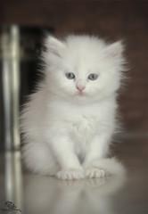 Little Lossy <3 (Mohammed Al-Adsani ) Tags: cat mohammed محمد قطه قطوه بسه العدساني aladsani