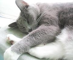 Harry (Tanya in BNE) Tags: pet home cat december january harry kitty newyear brisbane kitteh 2010 russianblue ours 2011 babycam dec2010 leechat harryleechat jan2011