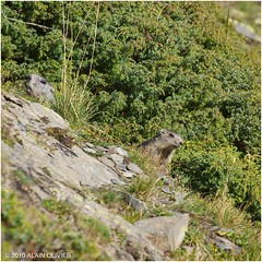 Marmotton et un parent